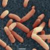 Poepbacterie E. coli O104 H4 in kiemgroente (fenegriek)