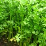 Apium graveolens secalinum bladselderij snijselderij bosselderij